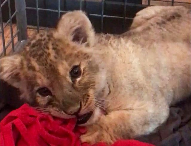 Lion cub found in Lamborghini by Paris police
