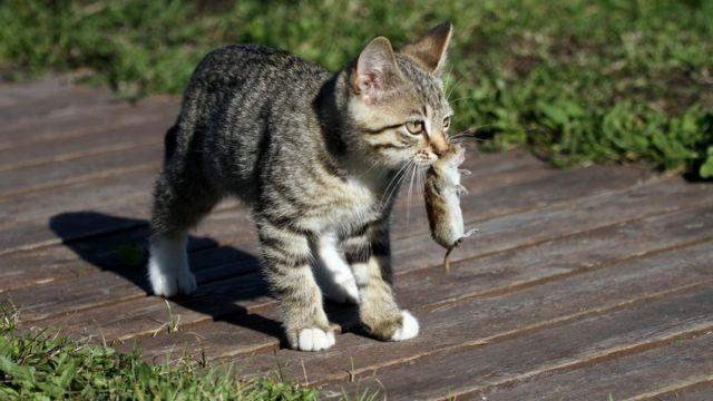 Домашние кошки унаследовали многие привычки своих диких предков
