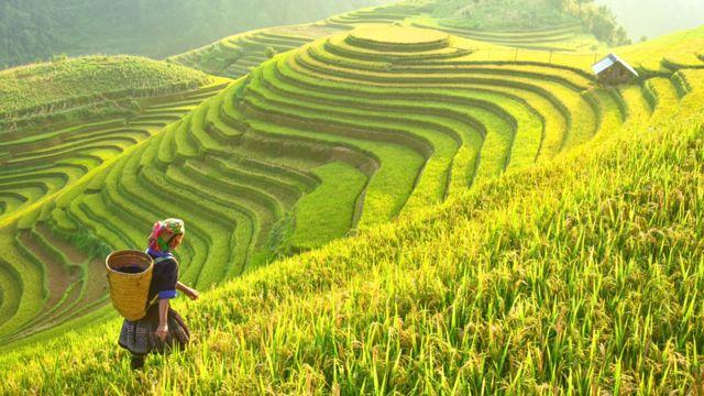 Agricultora en terrazas de plantaciones de arroz en Asia