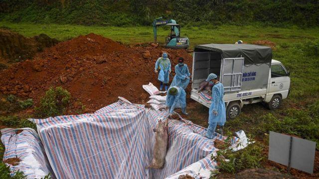 Cadáveres de porco sendo enterrados