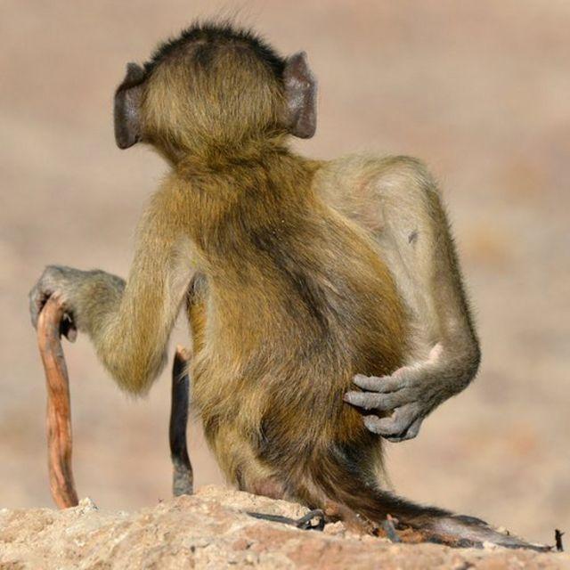 Un babuino Chacma visto con un bastón y rascándose la espalda