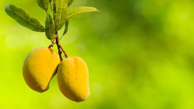 Ripe mangoes hanging from a tree