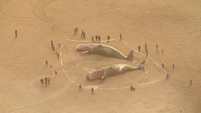 Aerial view of two of the beached whales