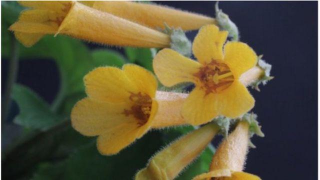 पिवळ्या फुलांचं झाड