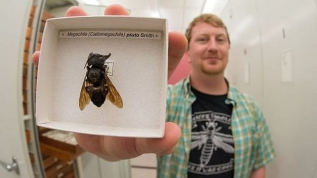 Eli Wyman dengan salah satu sampel lebah raksasa Wallace.