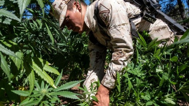 Un soldado destruye plantas de marihuana.