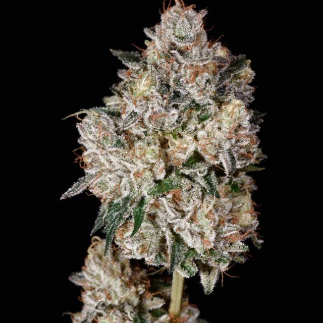 Flor cultivada por Bamf na Califórnia