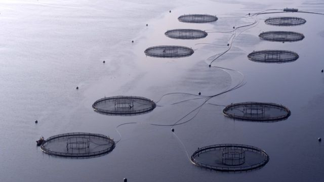 Scottish government 'too close' to salmon farmers
