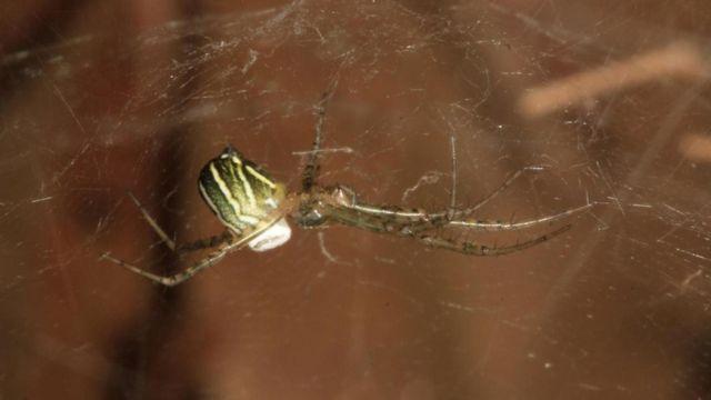 """أنثى عنكبوت """"مانوغيا بوريشا"""""""