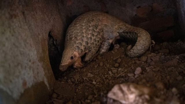 A Chinese pangolin is seen digging a hole at a Vietnamese wildlife rescue centre on 22 June 2020 in Cuc Phuong National Park, Ninh Binh Province, Vietnam