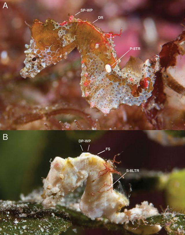 Diferencias entre Hippocampus japapigu e Hippocampus pontohi.