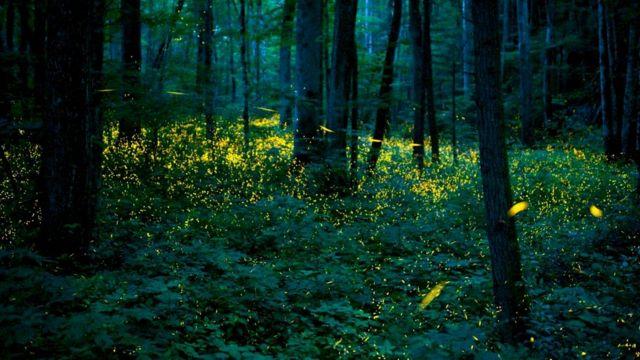 В парке обитают крупнейшие в западном полушарии популяции светлячков