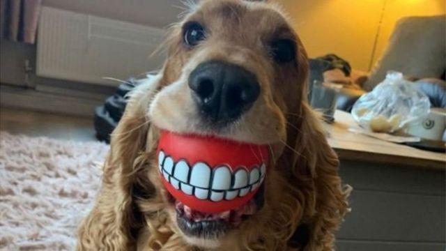 Üzerinde diş desenleri olan bir topu ağzında tutan köpek.