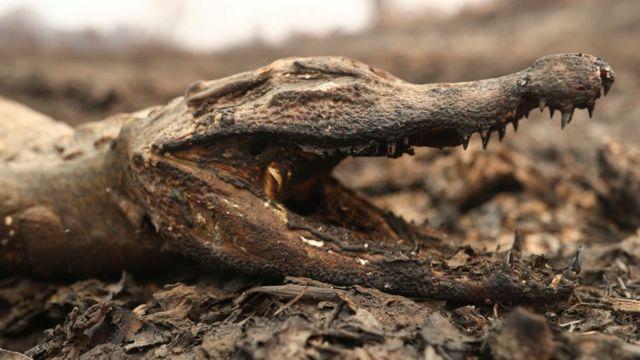 Jacaré morto em área destruida pelos incêndios no Pantanal
