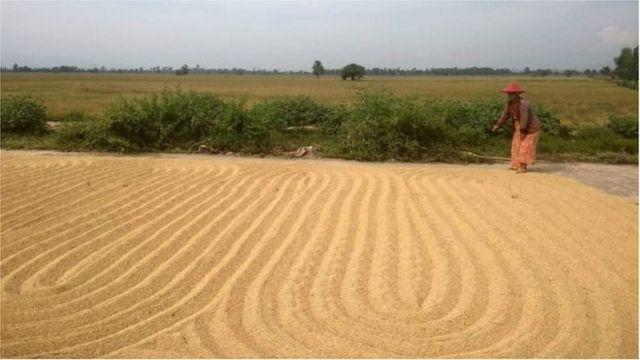 ရိတ်သိမ်းပြီးစ စပါးတွေကို နေပြည်တော်အနီး ကားလမ်းပေါ်မှာ နေလှန်းနေကြတဲ့ လယ်သမားတွေရဲ့ လုပ်ငန်းခွင်မြင်ကွင်း