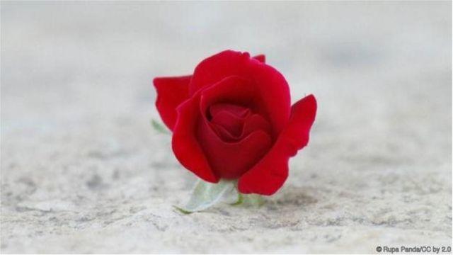 गुलाबाचे फूल