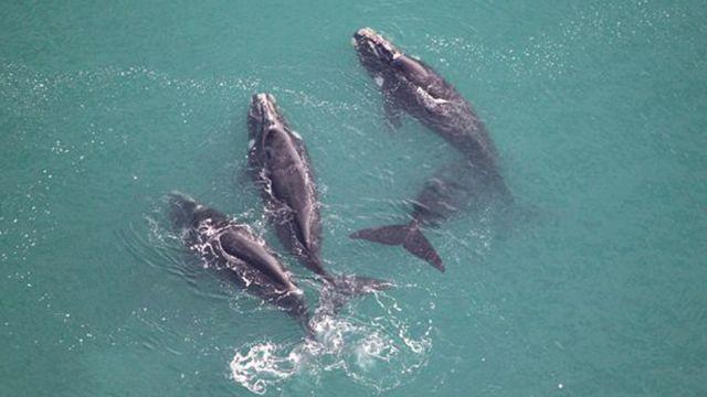 نهنگهای شکار جنوبی