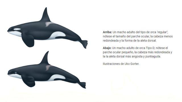 Comparación de una orca común con una orca tipo D