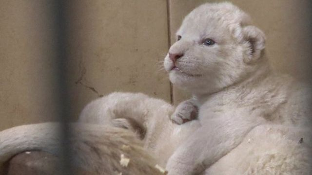 White lion cubs.
