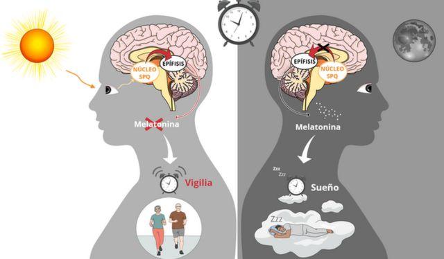 Gráfico que explica la acción de la melatonina