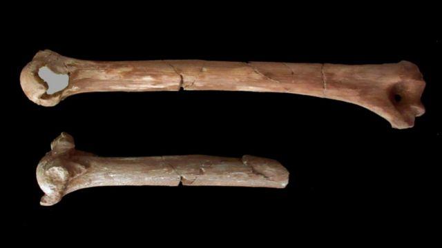 3D printouts of Lucy's arm bone