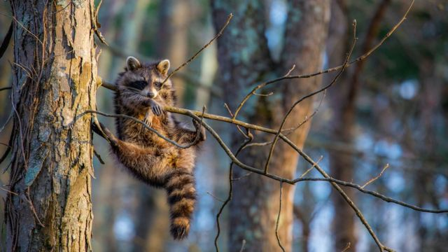 A raccoon stuck between some branches, but still pretending to look cool