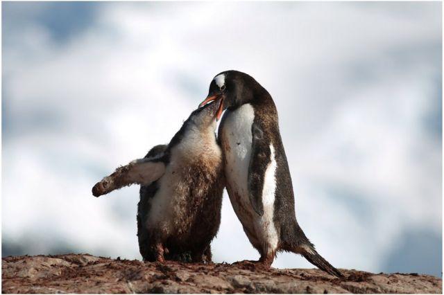yavrusunu besleyen penguen