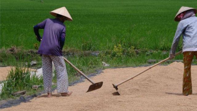 Xâm nhập mặn đe dọa canh tác lúa của nông dân miền Tây Nam Bộ