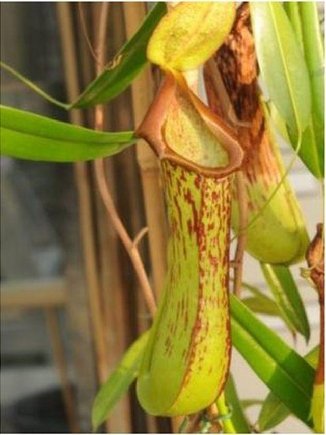 Nepenthes biak