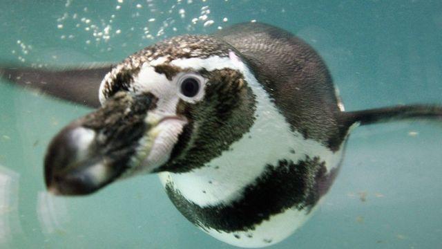 Pingüino de Humboldt nadando hacia la cámara.