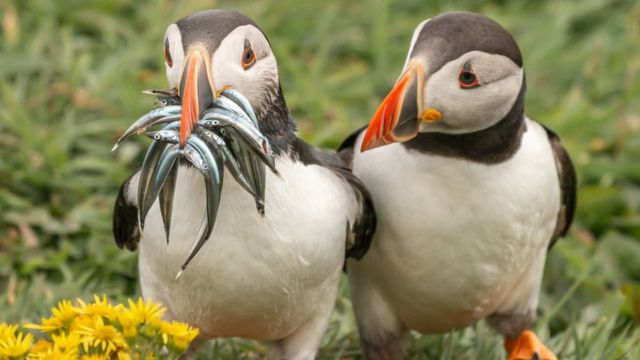 Two Atlantic puffins, one with a mouth full of fish, another empty-beaked, looks at its peer