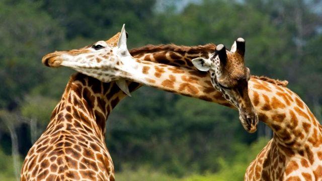 Жирафы-самцы дерутся шеями