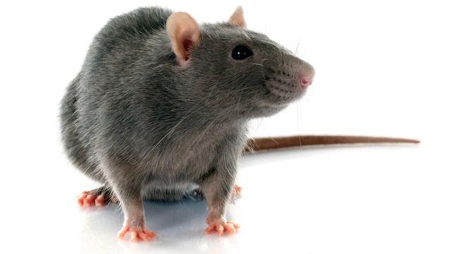 Крысы давно облюбовали корабли