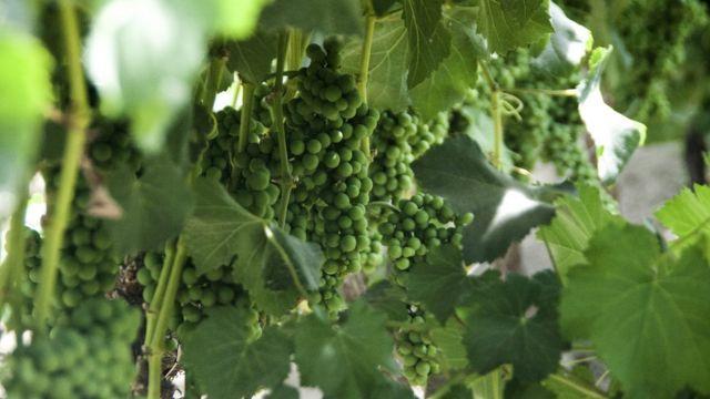 Pisco grape