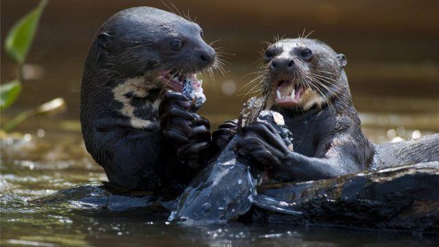 Ariranha comendo peixe