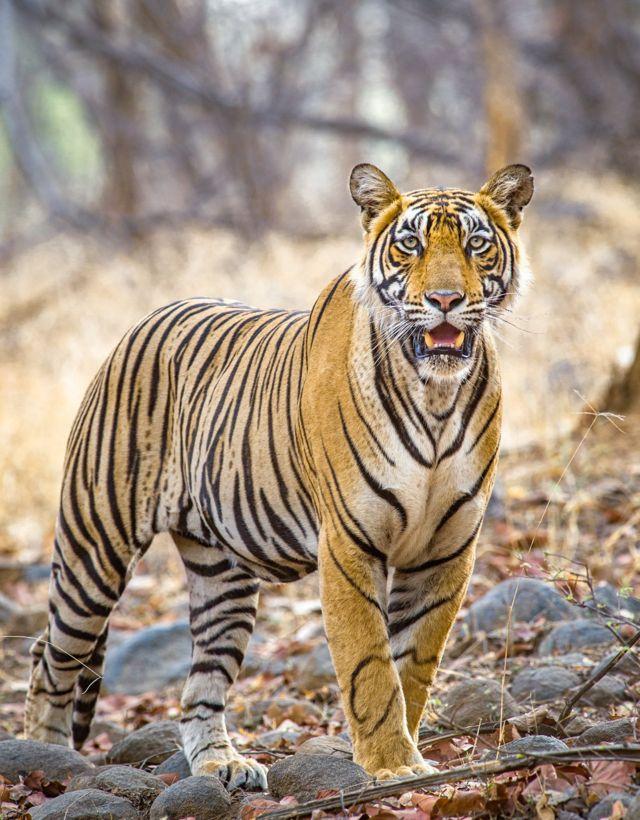 புலிகள் tiger