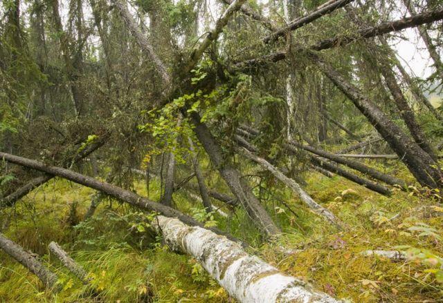クロトウヒの倒木が広がる「酔っ払い森」は永久凍土が解けた結果の一つだ