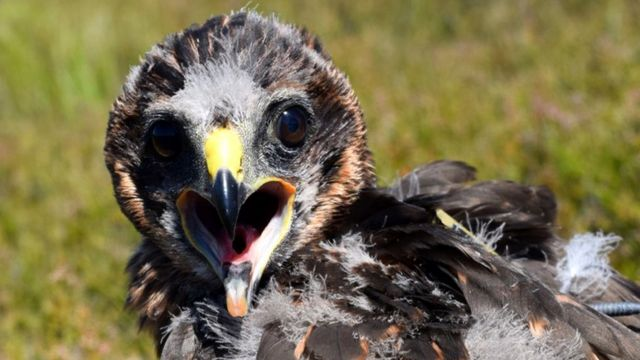 Young hen harrier missing in Cairngorms National Park