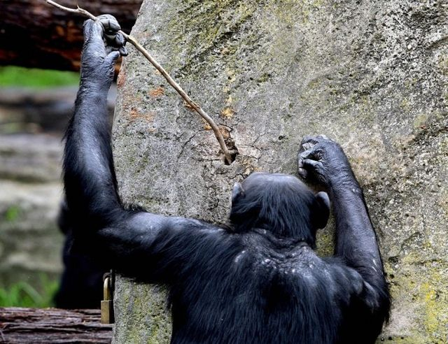 A chimpanzee fishing for termites using a rod