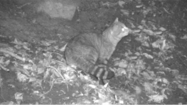 корсиканский кот