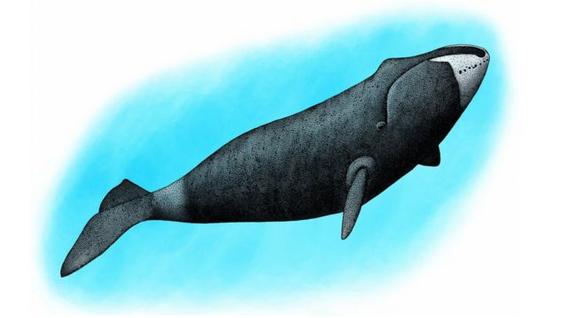 An illustration of a whale with dark grey, mottled skin and a prominent bump on its forehead