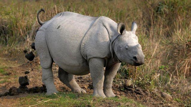Испражняющийся носорог