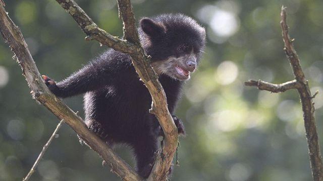 Filhote de urso andino em zoológico na Alemanha
