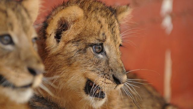 Two lion \Cubs