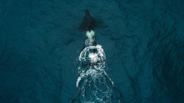 'Baleia assassina' no mar