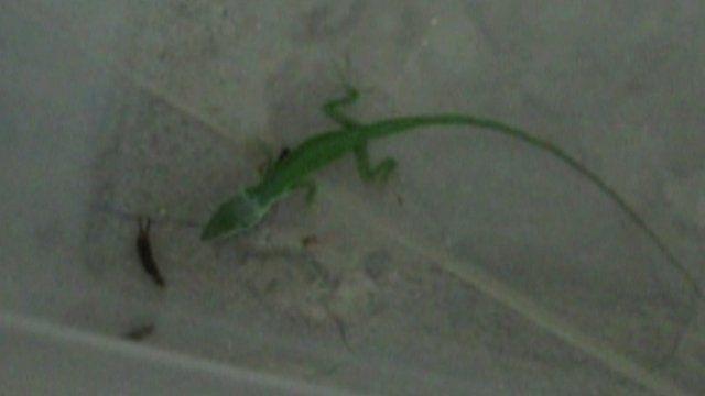 Lizard with earwig