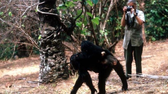 Джейн Гудолл в Национальном парке Гомбе