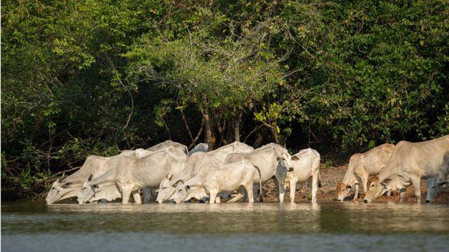 Bois bebendo água no Pantanal