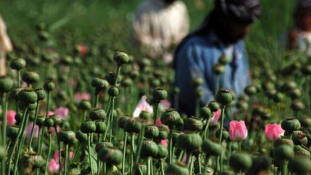افغانستان میں افیون کی کاشت