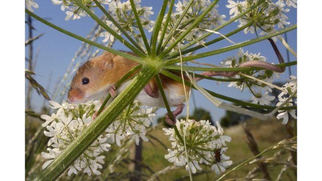 Ratón de campo.
